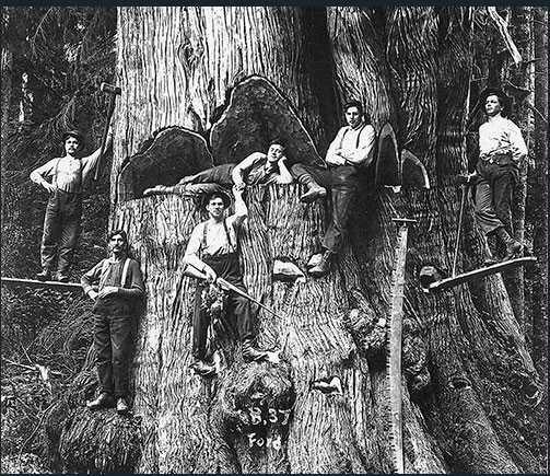 Av alla träd som växte på ömse sidor av Columbiafloden blev jättetujornas rotstam störst.