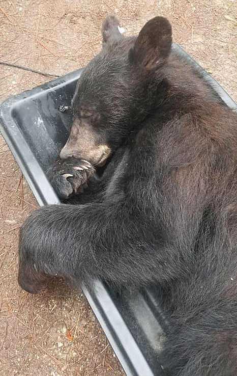 Polis och djurskötare lyckades till slut söva den objudne gästen och flytta den till en lämpligare plats.