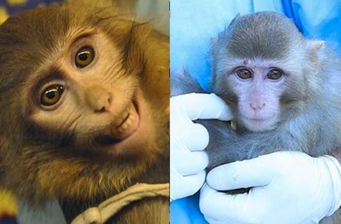 Till vänster: apan som faktiskt skickades upp i rymden. Apan till höger är från ett annat sammanhang.