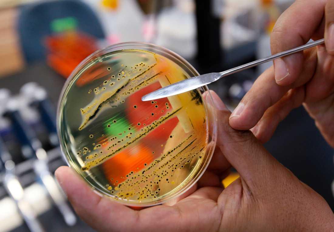 Odling av salmonellabakterier i laboratoriemiljö. Arkivbild.