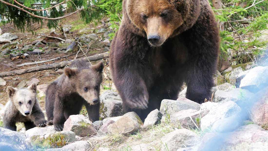 Tre björnpojkar är redo att möta besökarna i Orsa Rovdjurspark.