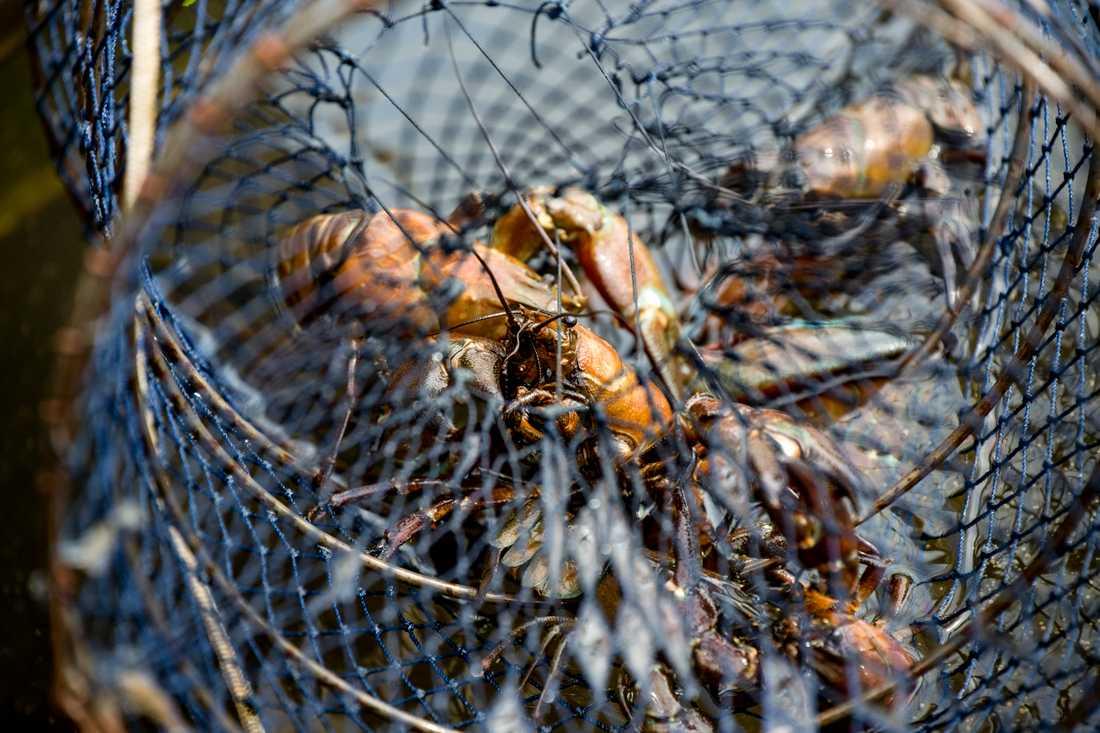 Kräftburar. Med hjälp av undervattensdrönare ska svartfisket stoppas.