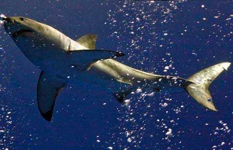 Hajarnas redan hotade tillvaro förvärras när de fiskas hårdare för sin levers skull.