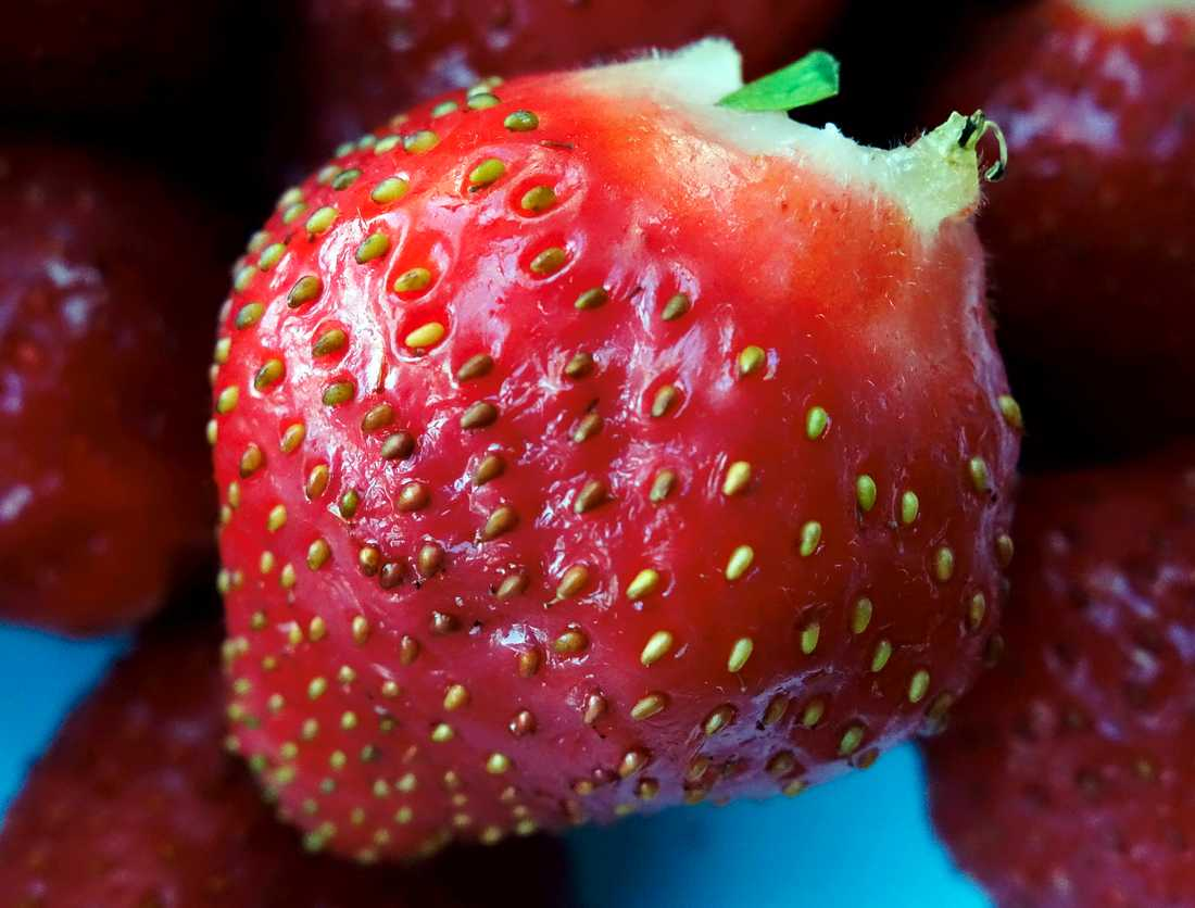 En svensk jordgubbe. Arkivbild.