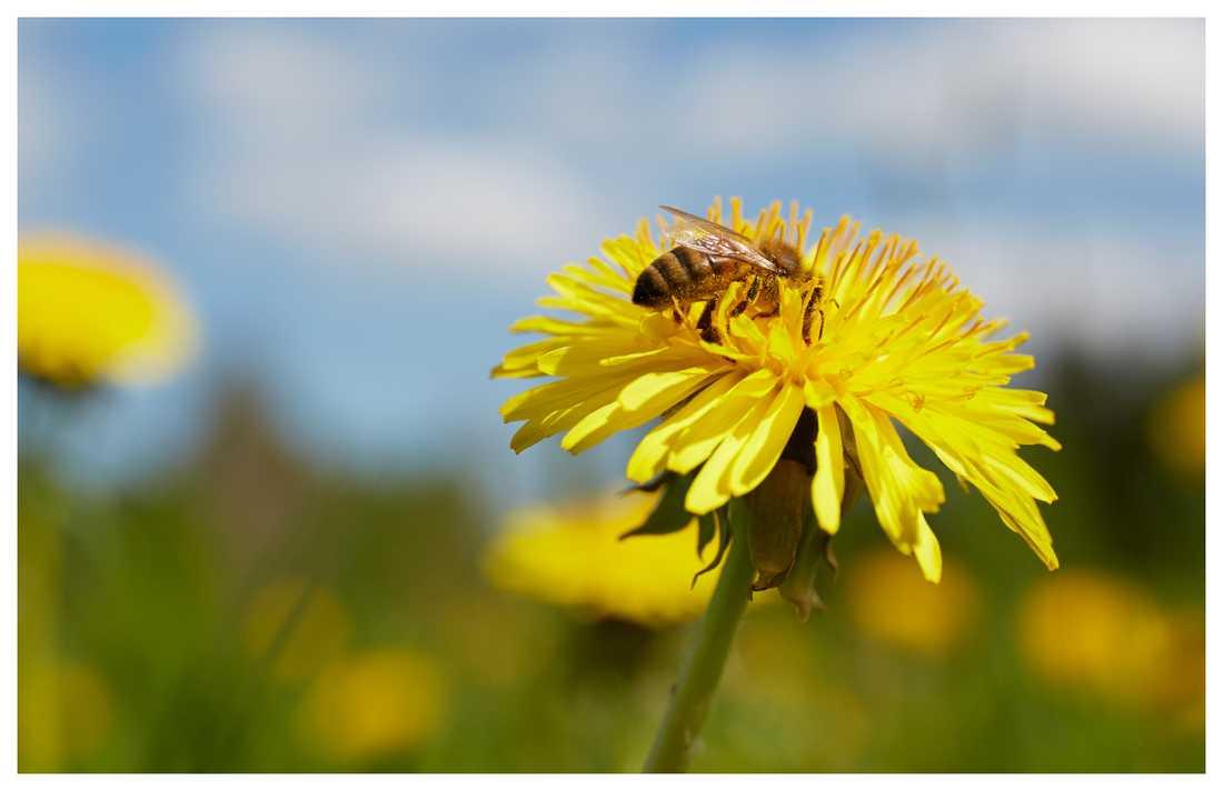 Rensa inte bort maskrosorna – ett bi nära dig kan behöva den.