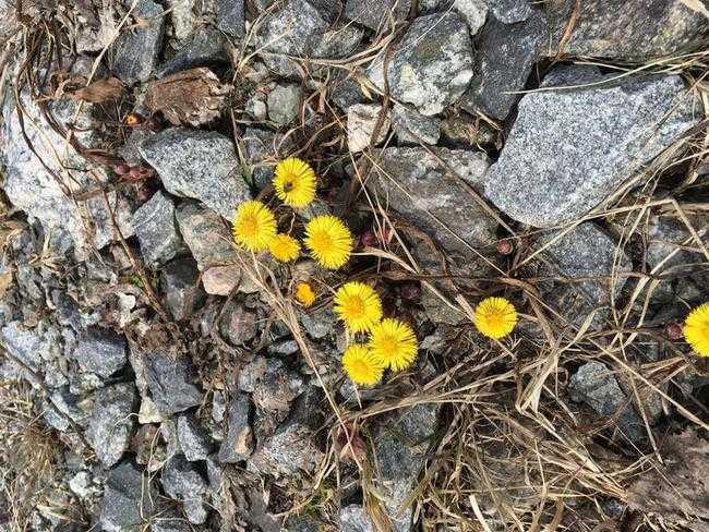 Rolf Ginman upptäckte det säkra vårtecknet tussilago i Västerhaninge söder om Stockholm.
