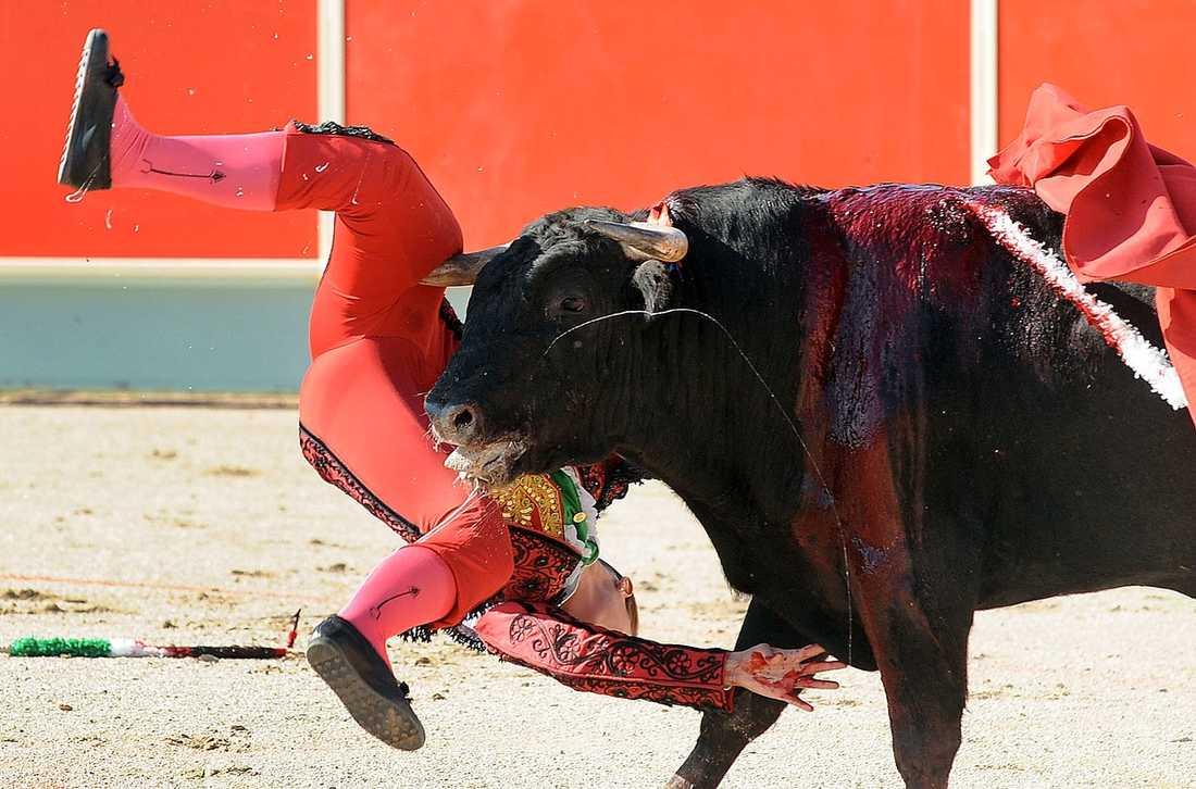 Jättehornet gick rakt in i spanjorskans högra lår.