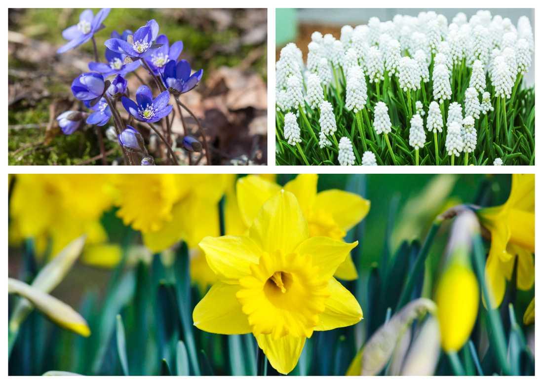 Nu börjar det spraka av färg i våra trädgårdar.