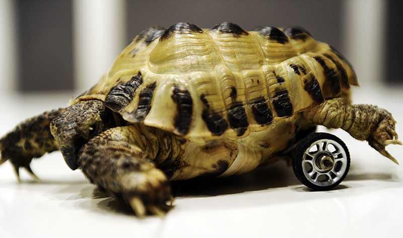 full rulle Sköldpaddan Mimmi var bara ett år och sex centimeter lång när hon attackerades av sköldpaddan Lucas och förlorade båda fötterna.