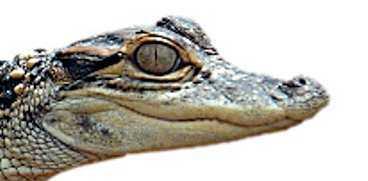 Alligatorbebis.