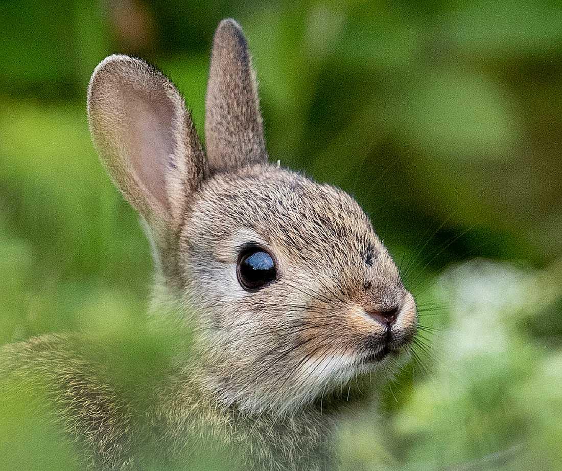 Förskolepersonalen har fått en ny arbetsuppgift – leta döda kaniner. Arkivbild.