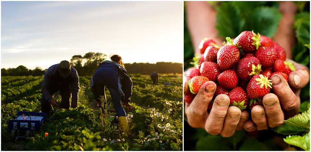 I midsommarhelgen äter vi 6–7 miljoner jordgubbar.