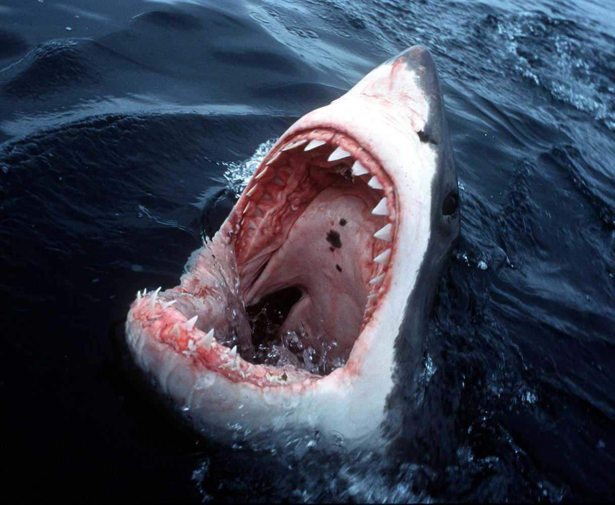Hajen på bilden har inget med attacken att göra.