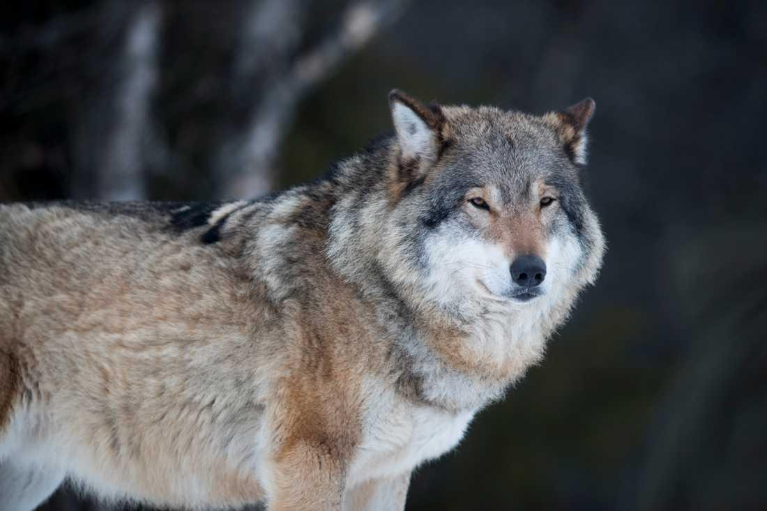 Den senaste räkningen visade på att det fanns runt 305 vargar i Sverige. Arkivbild.