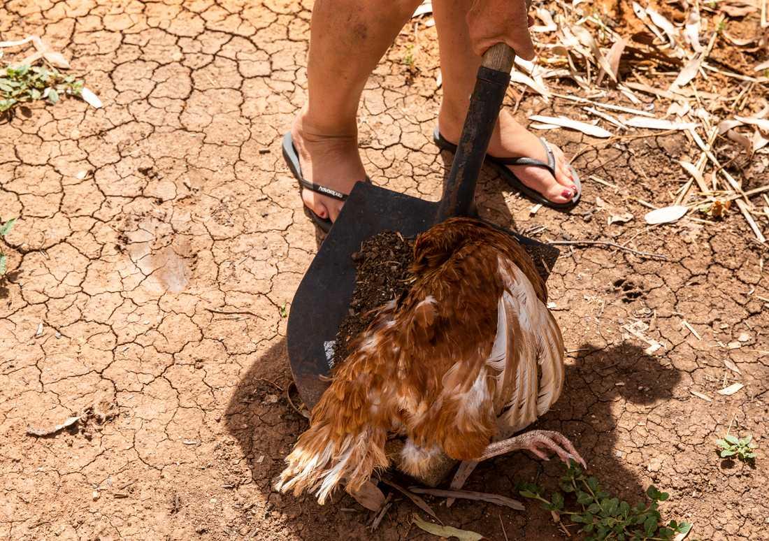En höna som dukat under av den 47 gradiga värmen tas omhand av ägaren Kath Barnes i Louth, Australien.