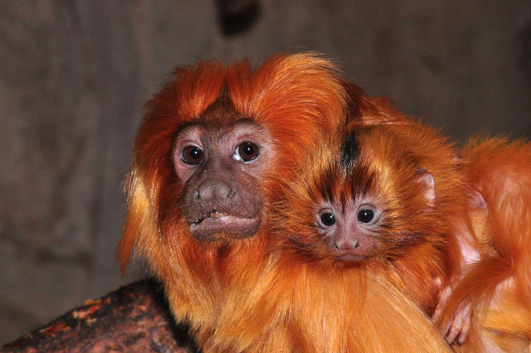 Den uppätna apan var av typen lejontamarin. Just de här aporna bor dock på Skansen.