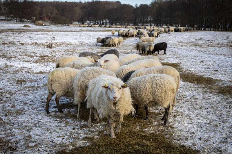 LRF Skåne vittnar om många bekymrade fårägare när vargen är på ingång.