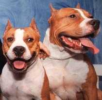 AMSTAFF. Hunden var av rasen American Staffordshire Terrier. (Hundarna på bilden har inget med artikeln att göra.)