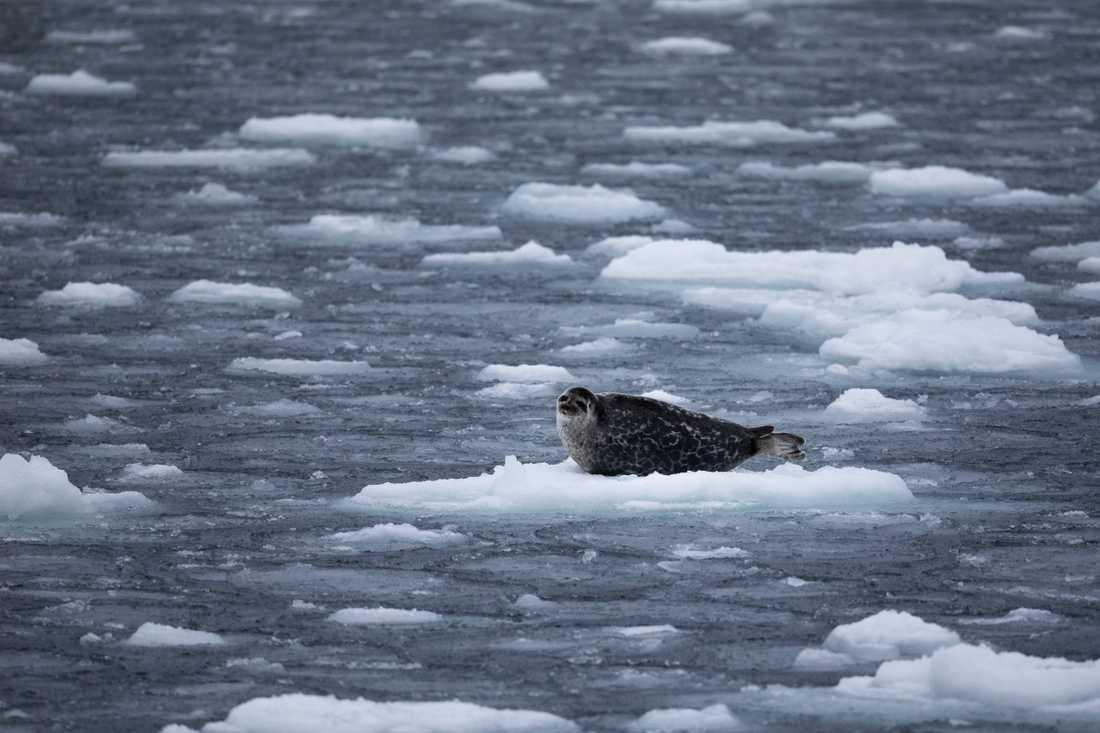 En vikare på ett isflak utanför Grönlands kust, september 2020.