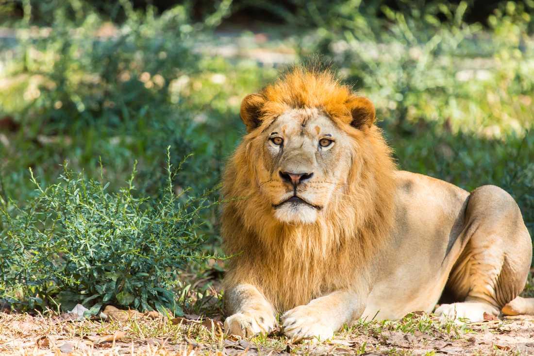 """Parkens stora dragplåster är """"The big five"""", som samlingen leopard, lejon, elefant, noshörning och afrikansk buffel ibland kallas."""
