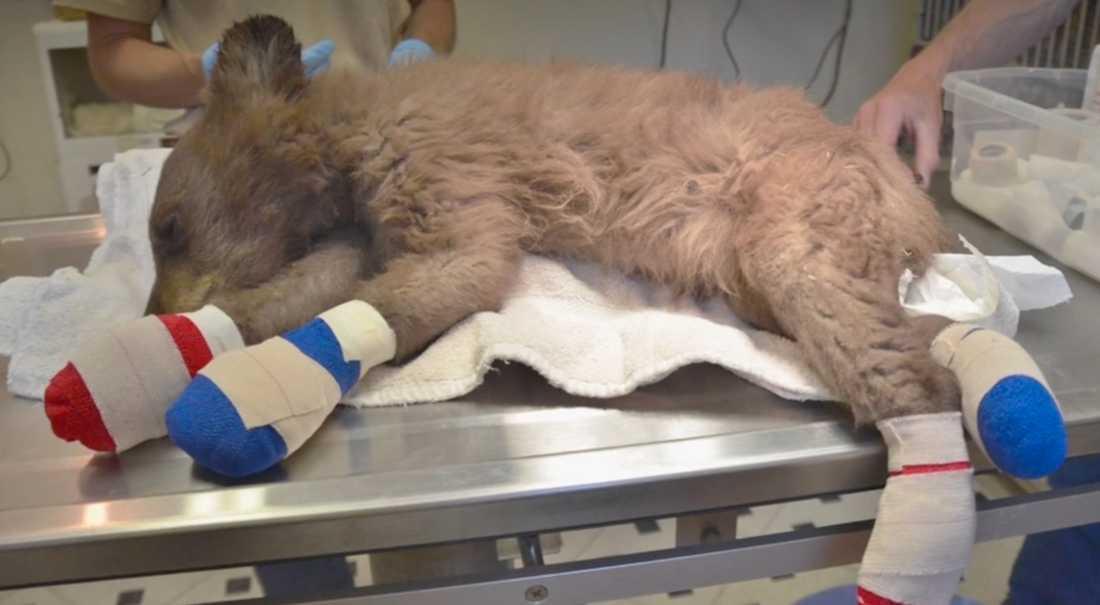 Veterinärerna som vårdar den lilla björnungen tror sig kunna släppa ut henne i det vilda igen till vintern.